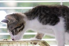 使用在鸟笼的一只美丽的平纹小猫 免版税图库摄影