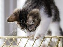 使用在鸟笼的一只美丽的平纹小猫 库存图片