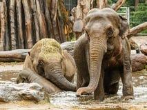 使用在水中的三头大象 库存照片
