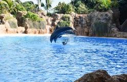 使用在水中的两只灰色海豚 免版税库存照片