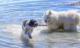 使用在水中的两条狗 图库摄影