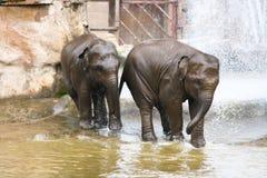 使用在水中的两头大象 免版税库存图片