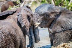 使用在水中的两头非洲大象 库存图片
