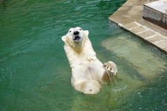 使用在水中的北极熊 免版税库存图片