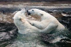 使用在水中的北极熊崽 免版税图库摄影