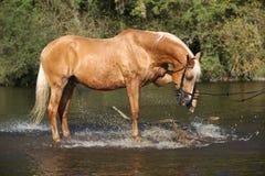 使用在水中的好的巴洛米诺马warmblood 图库摄影