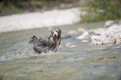 使用在水中的愉快的狗 库存照片