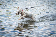 使用在水中的狗 图库摄影