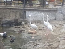 使用在水中的黑鸭 库存照片