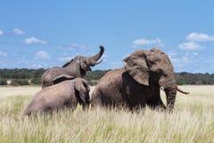 使用在水坑的三头大象 免版税库存图片