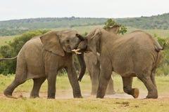 使用在水坑的两头非洲大象 库存图片