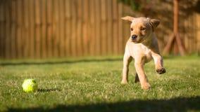 使用在晴朗的庭院里的逗人喜爱的拉布拉多小狗 免版税库存图片