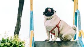 使用在幻灯片的一个甜哈巴狗 库存图片