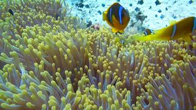 使用在他们的银莲花属家的Clownfish家庭 股票录像
