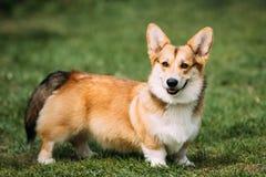 使用在绿色夏天草的滑稽的愉快的彭布罗克角威尔士小狗狗 库存图片