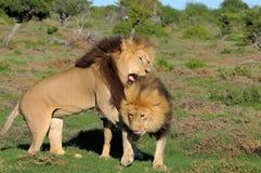 使用在Addo大象国家公园的两头卡拉哈里狮子 图库摄影