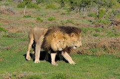 使用在Addo大象国家公园的两头卡拉哈里狮子 库存照片