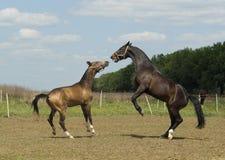 使用在paddok的两匹马 免版税库存照片