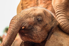 使用在Sheldrick大象孤儿院的年轻大象在内罗毕(肯尼亚) 库存图片