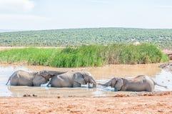 使用在waterhole的三头大象 免版税库存照片