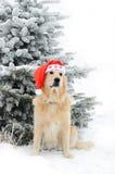 使用外面在冷的冬天雪的一只美丽的金毛猎犬 库存照片
