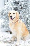 使用外面在冷的冬天雪的一只美丽的金毛猎犬 图库摄影