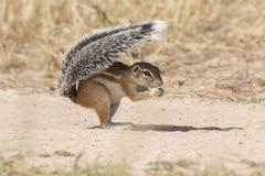 使用它的尾巴的一只地松鼠作为在热的卡拉哈里太阳的盾 免版税库存照片