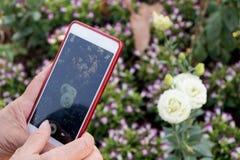 使用巧妙的电话设备的年长亚洲妇女手拍白色玫瑰照片  免版税库存照片
