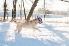 使用户外在冬天的金毛猎犬 库存图片