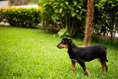 使用户外在草的嬉戏的小狗 免版税库存照片