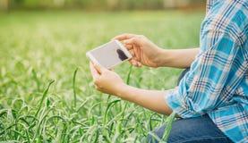使用手机技术的农夫对检查大蒜在农业庭院 库存照片