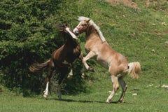 使用本质上的两匹马 免版税库存图片