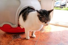 使用洗手间的在垃圾箱的猫,猫,为了pooping或者小便, pooping在干净的沙子洗手间 清洁锚窝箱子 库存照片