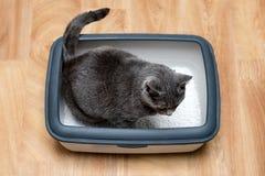 使用洗手间的在垃圾箱的猫,猫,为了pooping或者小便, pooping在干净的沙子洗手间 灰色猫品种俄国蓝色 免版税图库摄影