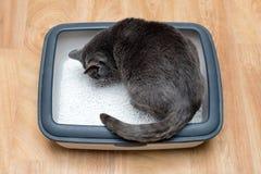 使用洗手间的在垃圾箱的猫,猫,为了pooping或者小便, pooping在干净的沙子洗手间 灰色猫品种俄国蓝色 免版税库存照片