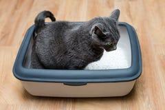 使用洗手间的在垃圾箱的猫,猫,为了pooping或者小便, pooping在干净的沙子洗手间 灰色猫品种俄国蓝色 免版税库存图片