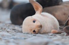 使用海狗的小狗,南极洲特写镜头  免版税库存图片