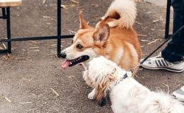 使用激动长卷毛狗、滑稽的神色和的逗人喜爱的小的小狗, 库存图片
