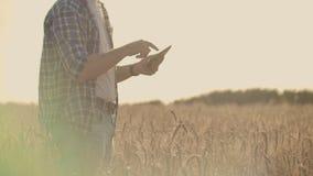使用片剂的农夫在麦田 工作在与农业技术的领域的科学家 关闭人手 股票录像
