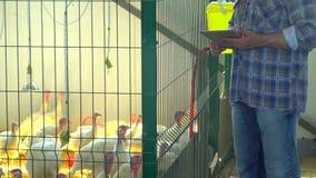 使用片剂计算机的农夫人,检查质量在禽畜养鸡场,火鸡农场,种田,禽畜生产 股票视频