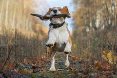 使用用一根棍子的小猎犬狗在秋天森林里 免版税库存照片