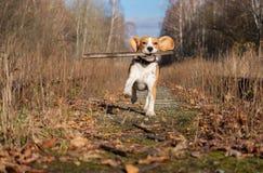 使用用一根棍子的小猎犬狗在秋天森林里 免版税库存图片