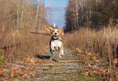 使用用一根棍子的小猎犬狗在秋天森林里 免版税图库摄影