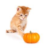 使用用在白色的一个微型南瓜的逗人喜爱的橙色小猫 免版税图库摄影