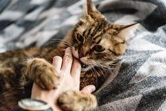 使用用妇女手和咬住在时髦的美丽的逗人喜爱的猫 库存图片