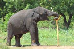 使用用木棍子的大象 库存照片