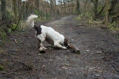 使用用棍子的一个英国斯伯林格西班牙猎狗 免版税库存照片