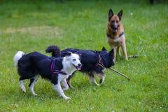 使用用棍子的博德牧羊犬和德国牧羊犬 免版税库存照片