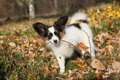 使用用棍子的可爱的papillon小狗 免版税图库摄影