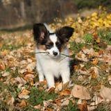 使用用棍子的可爱的papillon小狗 免版税库存图片
